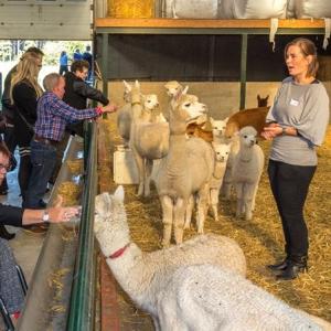 Rondeiding op de alpacaboerderij voor tot wel 10 personen  - Kaulille